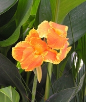 Image Orange Canna - Canna Orange King Humbert