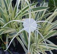 Image Variegated Spider Lily - Hymenocallis Caribaea