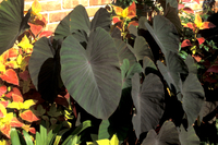 Image Black Magic Taro - Colocasia Esculenta Black