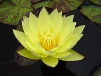 Image Carla's Sonshine Yellow Tropical Water Lily