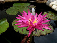 Image Miami Rose Tropical Water Lily