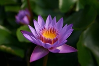 Image Panama Pacific Tropical Water Lily