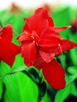 Image Red Canna