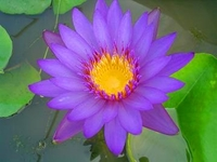 Image Purple Day Blooming Tropical Water Lilies
