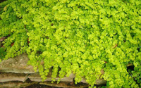 Image Golden Creeping Jenny