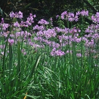 Image Society Garlic - Tulbaghia Violace