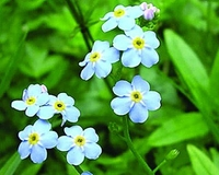 Image Aquatic Forget Me Not