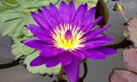 Image Tanzanite Purple Tropical Water Lily