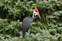 Image Dancing Birds - Pileated Woodpecker