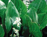 Image Arrowhead Plant - Sagittaria Latifolia
