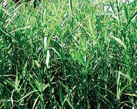 Image Dwarf Bamboo -Sulichium Arundinaceum