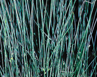 Image Blue Rush - Juncus Glauca