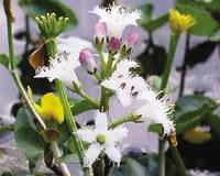 Image Bog Bean - Menyanthes Trifolia