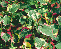 Image Chameleon Plant - Houttuynia Cordata Variegata