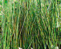Image Gold Variegated Reed