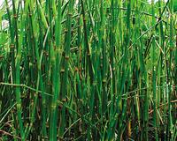 Image Horsetail Rush (Equisetum hyemale)