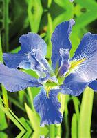 Image Clyde Redmond Blue Iris