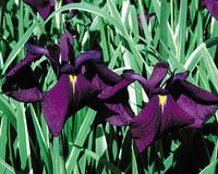 Image Japanese Variegated Iris - Iris Kaempferi Variegata