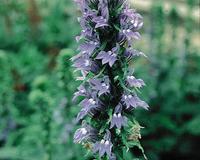 Image Blue Lobelia
