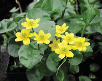 Image Marsh Marigold - Caltha Palustris
