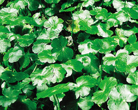 Image Pennywort - Hydrocotyle Verticillata