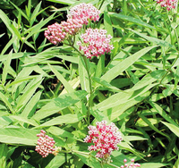 Image Pink Butterfly Flower - Asclepias Incarnata