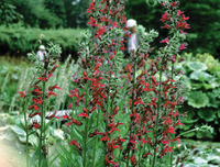 Image Cardinal Flower - Lobelia Cardinalis