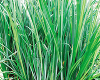 Image Sedge - Carex Aquatilis