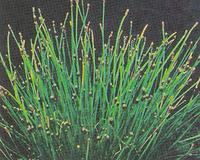 Image Spike Rush -Eleocharis Montevidensis