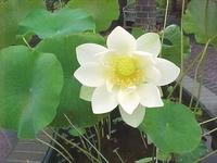 Image Giant Sunburst Lotus
